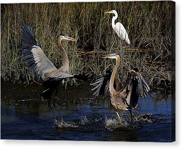 Great Blue Heron Courtship Canvas Print by Paulette Thomas