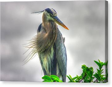 Canvas Print featuring the photograph Great Blue Heron by Dennis Baswell