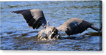 Great Blue Heron Dive Canvas Print by Dan Sproul