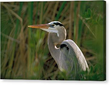 Canvas Print featuring the photograph Great Blue Heron by Doug Herr