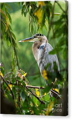 Canvas Print featuring the photograph Great Blue Heron by Eva Kaufman