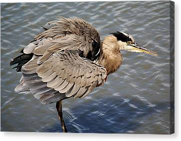 Great Blue Heron Feathers - # 24 Canvas Print by Paulette Thomas