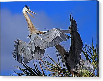 Canvas Print featuring the photograph Great Blue Heron Fight  by Larry Nieland