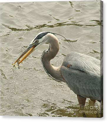 Canvas Print featuring the photograph Great Blue Heron Fishing by Bob and Jan Shriner