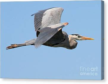 Canvas Print featuring the photograph Great Blue Heron Flying by Bob and Jan Shriner