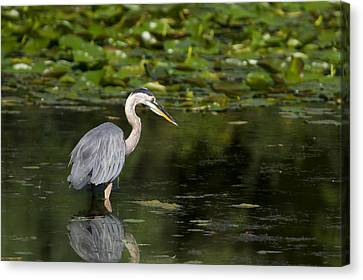 Great Blue Heron Hunting Canvas Print by Larry Bohlin