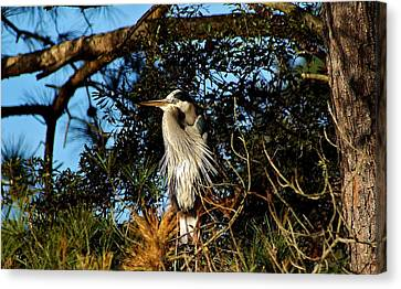 Great Blue Heron In A Tree - # 23 Canvas Print by Paulette Thomas