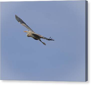 Great Blue Heron In Flight-2 Canvas Print by Thomas Young