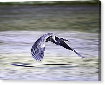 Great Blue Heron In Flight Canvas Print by John Haldane