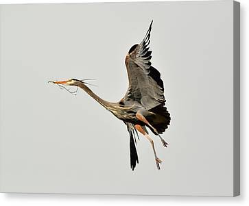 Great Blue Heron In Flight Canvas Print by Kathy King