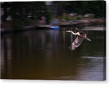 Great Blue Heron In Flight Canvas Print