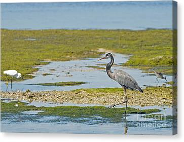 Jn Ding Darling National Wildlife Refuge Canvas Print - Great Blue Heron In Florida by Natural Focal Point Photography
