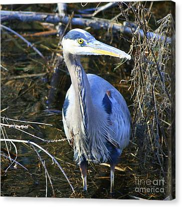 Great Blue Heron In Square Canvas Print