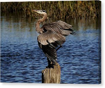 Great Blue Heron In The Marsh - # 17 Canvas Print by Paulette Thomas