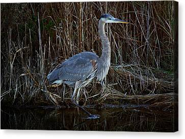 Great Blue Heron In The Marsh - #1 Canvas Print by Paulette Thomas