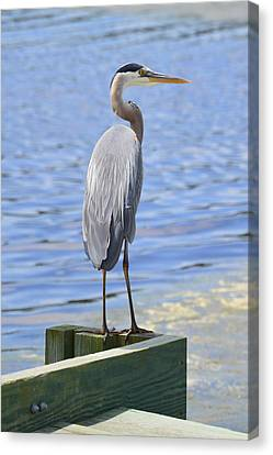 Great Blue Heron Canvas Print by Judith Morris