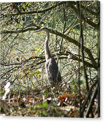 Canvas Print featuring the photograph Great Blue Heron by Karen Silvestri