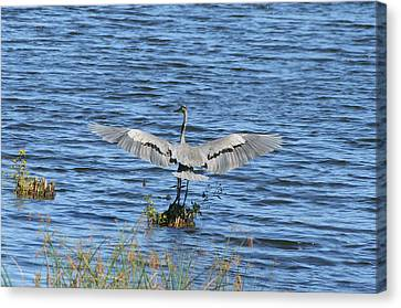 Great Blue Heron Landing Canvas Print