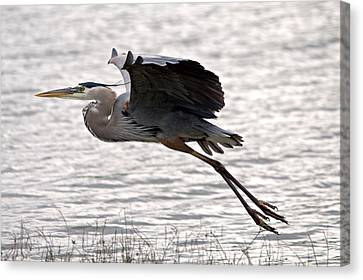 Great Blue Heron Landing Series 1 Canvas Print