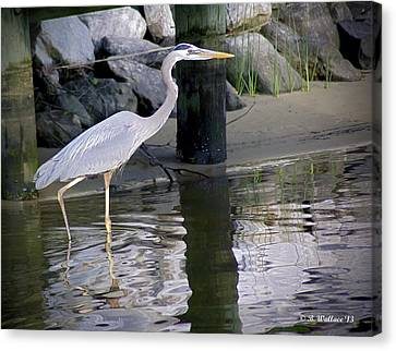Great Blue Heron - Mealtime Canvas Print by Brian Wallace