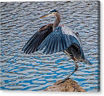 Great Blue Heron Pose Canvas Print