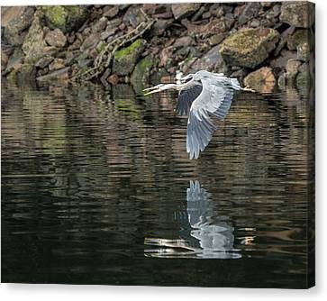Great Blue Heron Reflections Canvas Print