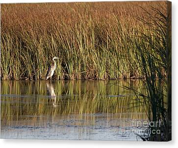 Great Blue Heron Canvas Print by Steven Ralser