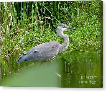 Canvas Print featuring the photograph Great Blue Heron  by Susan Garren
