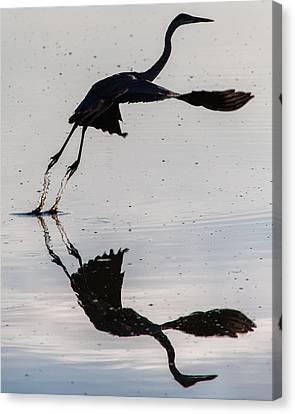 Great Blue Heron Takeoff Canvas Print by John Daly