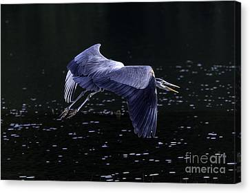 Great Blue Heron Canvas Print by Tim Moore
