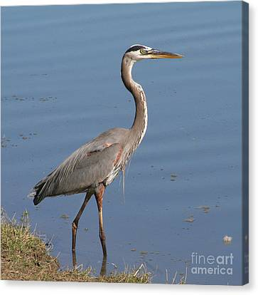 Canvas Print featuring the photograph Great Blue Heron Wading by Bob and Jan Shriner