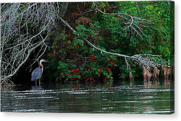 Great Blue Heron Wading Canvas Print by James Hammen
