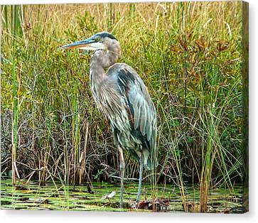 Great Blue Heron Waiting For Supper Canvas Print