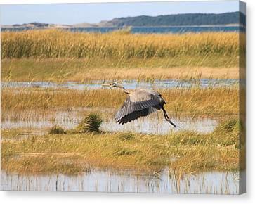Great Blue Heron Wellfleet Bay Marsh Canvas Print by John Burk