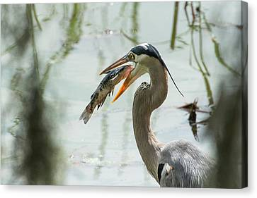 Great Blue Heron With Fish In Mouth Canvas Print by Sheila Haddad