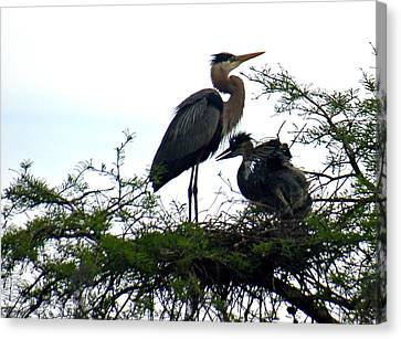 Great Blue Heron With Fledglings II Canvas Print by Suzanne Gaff