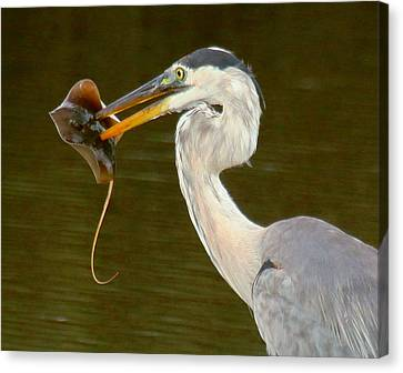 Great Blue Heron With Stingray Canvas Print