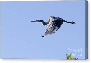 Great Blue In Flight Canvas Print by Heidi Piccerelli