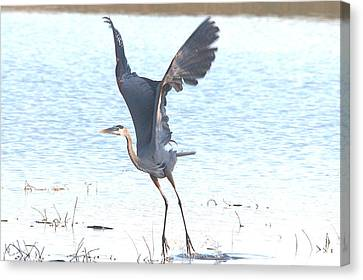 Great Blue Lift Off Series 1 Canvas Print by Roy Williams
