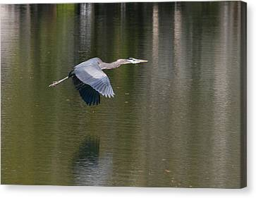 Great Blue Over Green Canvas Print