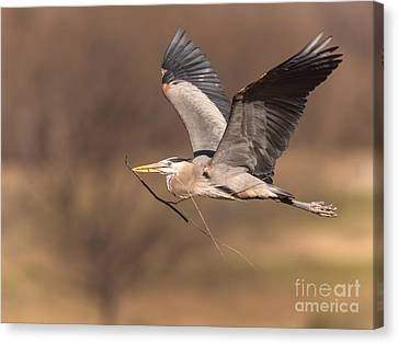 Great Blue To Rookery Canvas Print by Robert Frederick