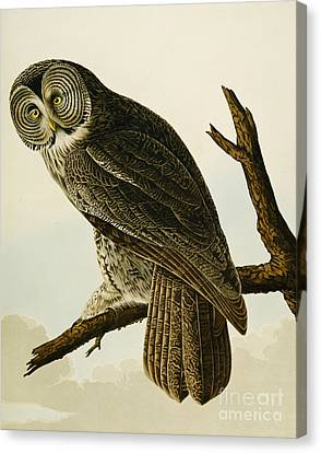 Great Cinereous Owl Canvas Print by John James Audubon