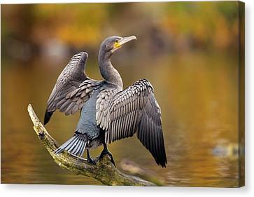 Great Cormorant Drying Its Wings Canvas Print by Simon Booth
