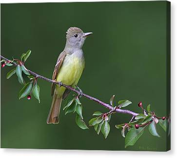 Canvas Print featuring the photograph Great Crested Flycatcher by Daniel Behm