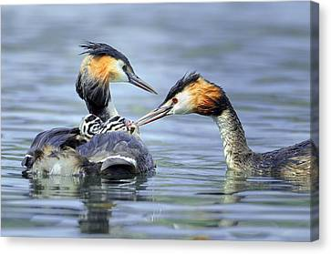Family Crest Canvas Print - Great Crested Grebes by Science Photo Library