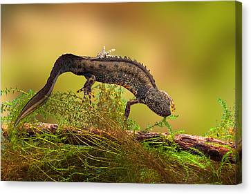 Great Crested New Or Water Dragon Canvas Print by Dirk Ercken