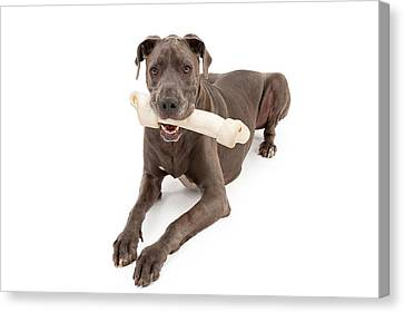 Great Dane Dog With Large Bone Canvas Print