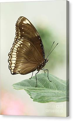 Great Eggfly Butterfly Canvas Print by Judy Whitton