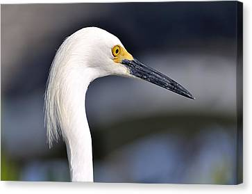 Great Egret Canvas Print by Andres LaBrada