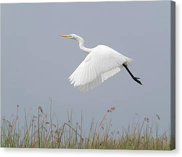 Great Egret Ardea Alba In Flight Canvas Print by Panoramic Images